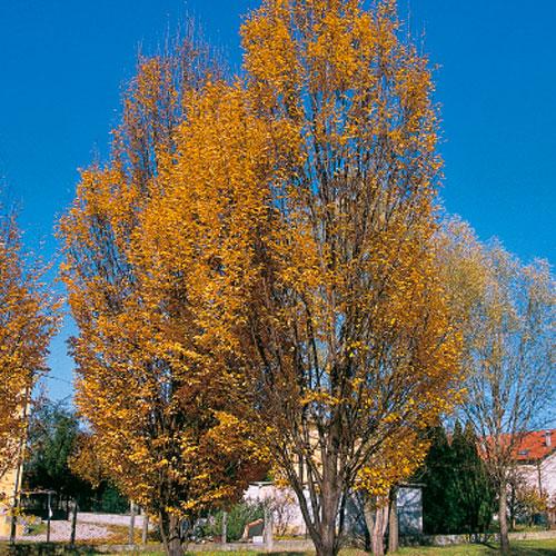 foto albero pianta Carpino bianco