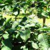 Carpinus-betulus-foglie-beleafing