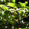 Carpinus-betulus-frutti-beleafing