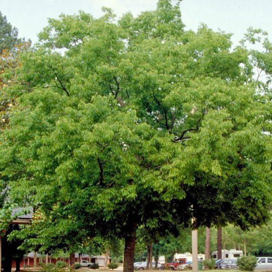 foto albero bagolaro Celtis australis