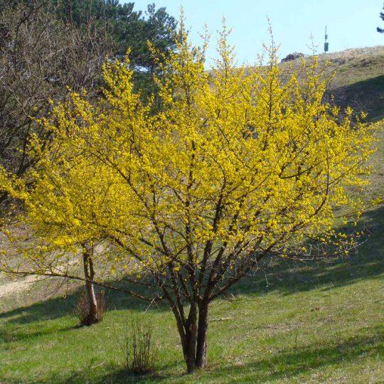 foto albero Corniolo Cornus mas