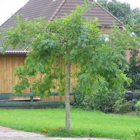 foto albero frassino maggiore Fraxinus excelsior