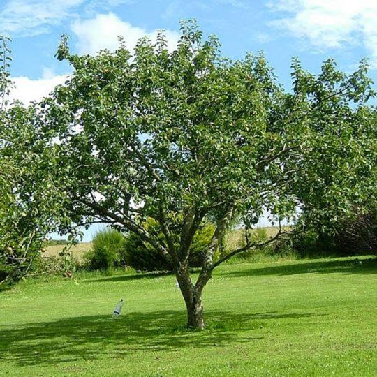 foto albero da frutto Melo Malus domestica