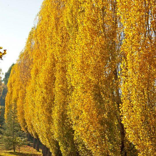foto Populus nigra albero pioppo