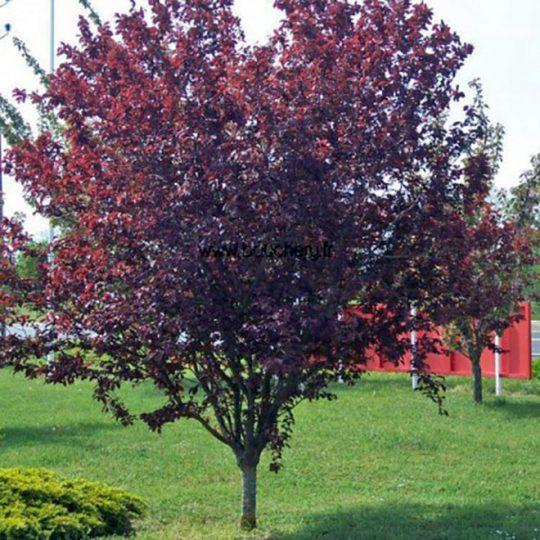 foto albero da frutto Amolo Prunus cerasifera