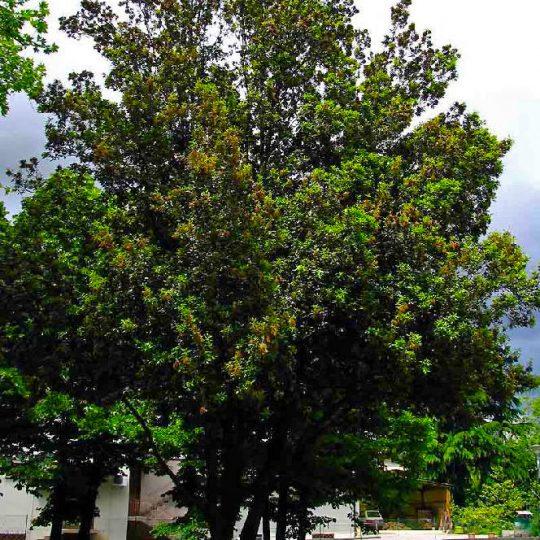 foto albero pianta leccio