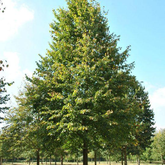 foto albero tiglio selvatico