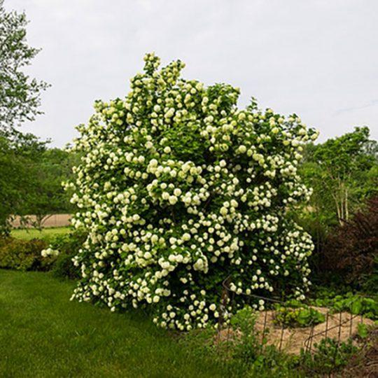 foto albero Palla di neve Viburnum opulus