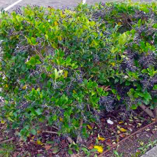 foto albero pianta siepe ligustro