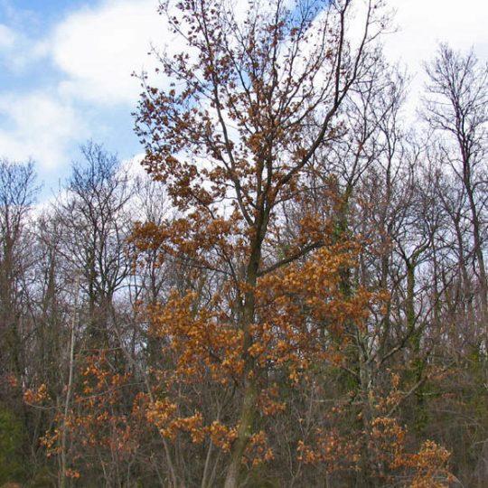 foto albero sempre verde Roverella Quercus pubescens