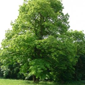 albero castagno fogliame